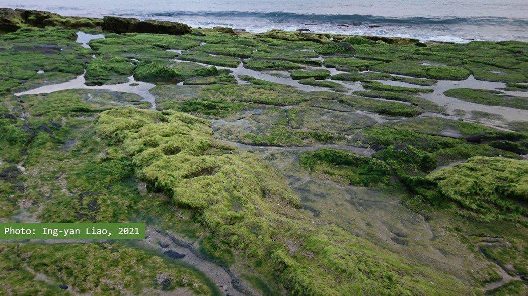 青海菜(礁膜)與石蓴都是澎湖潮間帶春季盛產的可食藻類,具經濟價值,也是昔日的荒年救饑食材。 圖/廖英雁