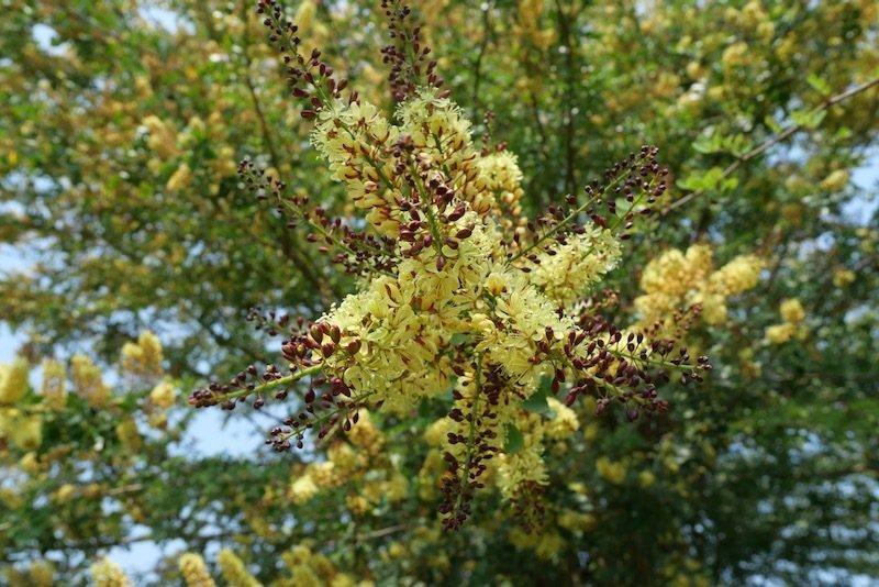 在北部沒看過的會開花的大樹,至美橋前有幾棵開了花,原來它叫墨水樹。
