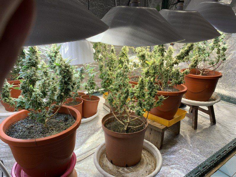 政府應正視大麻氾濫的問題,而不是遮遮掩掩地修法。圖/台中地檢署提供