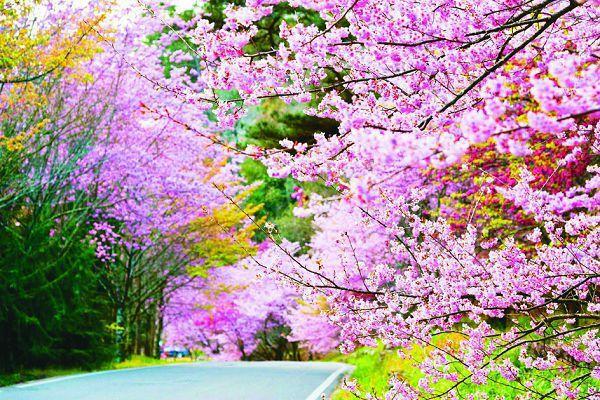 武陵農場三月櫻花盛開,是知名的賞櫻景點。