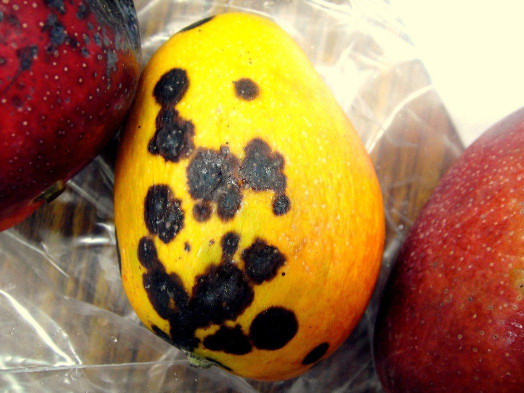 芒果炭疽。 南區農改場/提供。