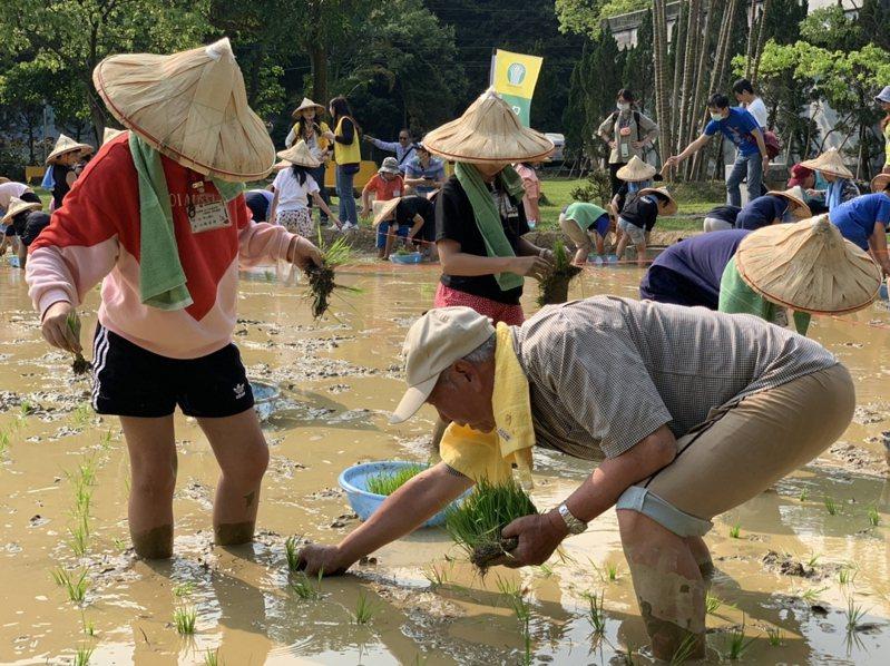 汐止區農會利用閒置的穀倉前草坪,規劃了一畝水稻田,舉辦一日農夫手插秧親子體驗活動。 圖/觀天下有線電視提供
