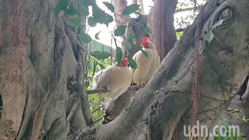 彰化縣民靖國小的鴿子雞學會以校樹為家,躲避危險。記者簡慧珍/攝影