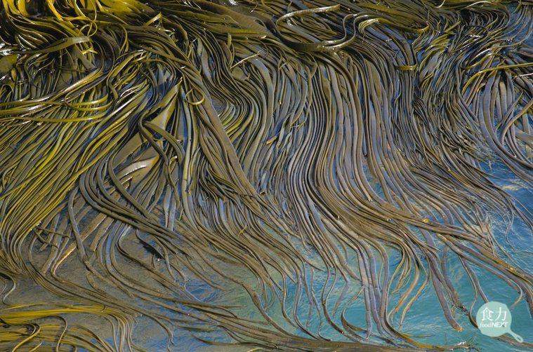 海茸原生在智利、與紐西蘭南部較寒冷的海域裡,由於其來源穩定,可望成為生醫界癌症治...