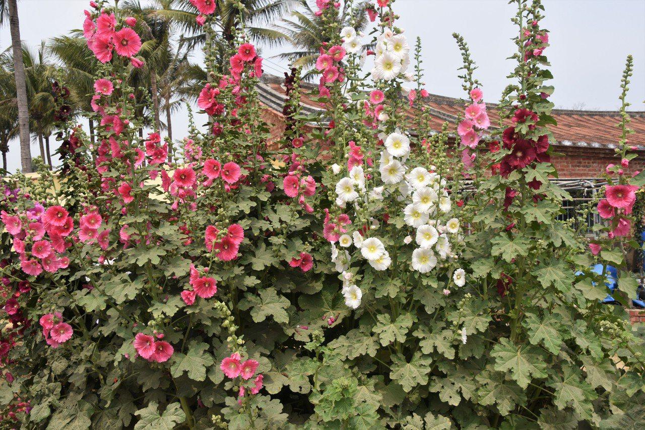 那彩色都長在一支支綠莖上,一朵朵或一簇簇花似乎在玩接力賽,沿著綠莖往上爬 圖/沈...