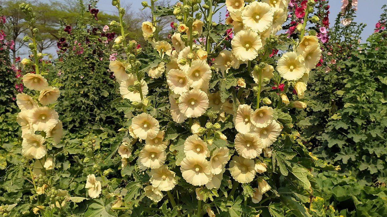 目前蜀葵在台灣也遍地䦕花,二月下旬賞櫻正熱門。 圖/沈正柔 提供