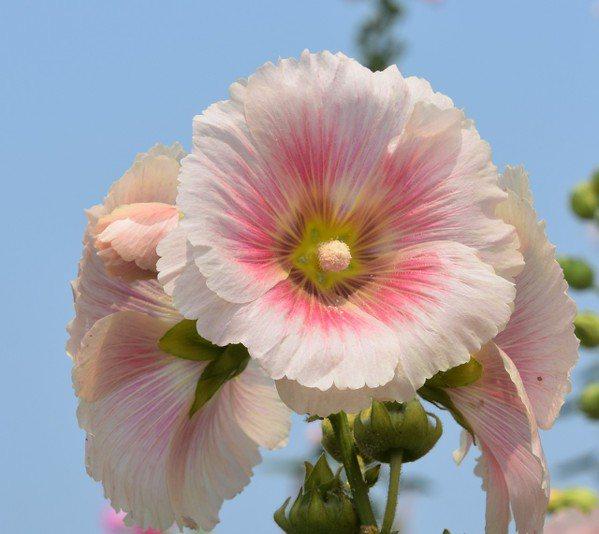 蜀葵花艶麗不輸芙蓉,甚至媲美牡丹、芍藥,卻不見公園或植物園栽植 圖/沈正柔 提供