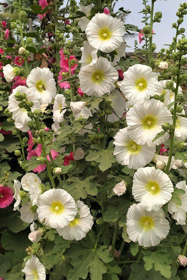 紅、粉、黃、橙、白、紫,深深淺淺,單瓣、重瓣,數不清眼前的蜀葵花有多少顏色 圖/...