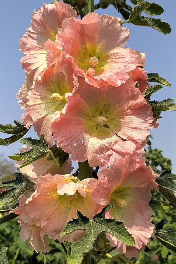 能共牡丹爭幾許,得人嫌處只緣多。」終於明白蜀葵只長在野地而少人特意栽培的原因。 ...