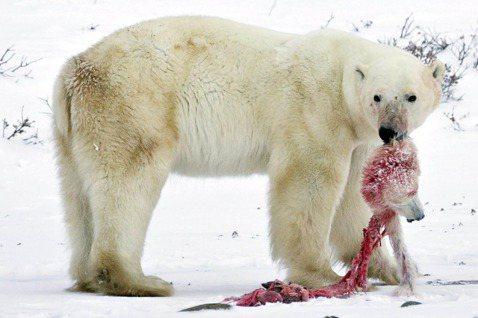 2009年,加拿大北極圈內拍到的北極熊相食照片,氣候變遷對於生態的衝擊,讓北極熊...