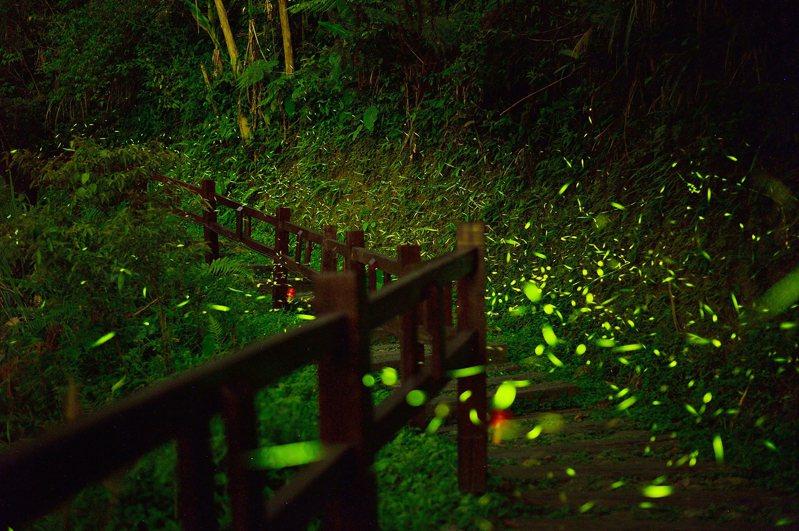 嘉義縣阿里山區4至6月是最佳賞螢時節,阿里山管理處25日表示,阿里山區生態環境佳,多達42種螢火蟲出沒,是全台最棒的賞螢地點。圖為圓潭自然生態園區螢火蟲。(阿里山管理處提供)中央社