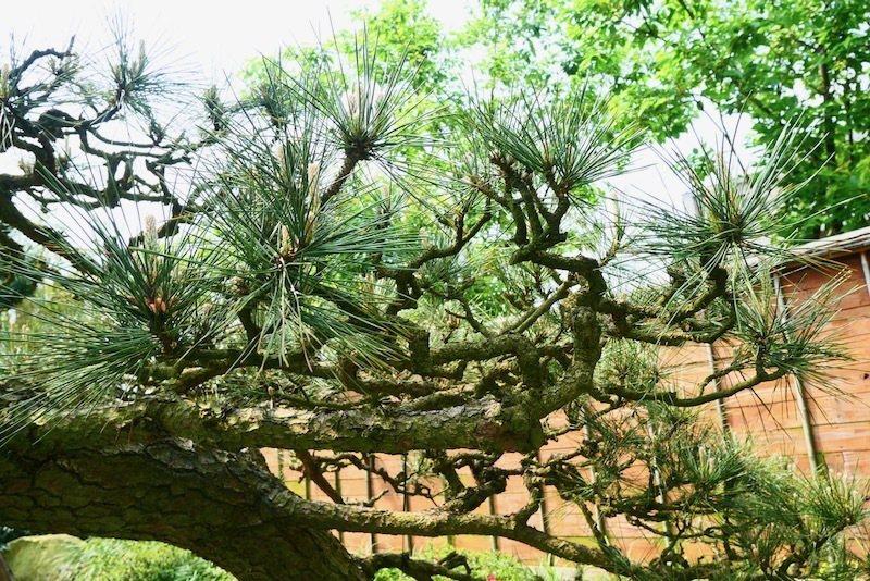 園區另一區域的黑松樹。
