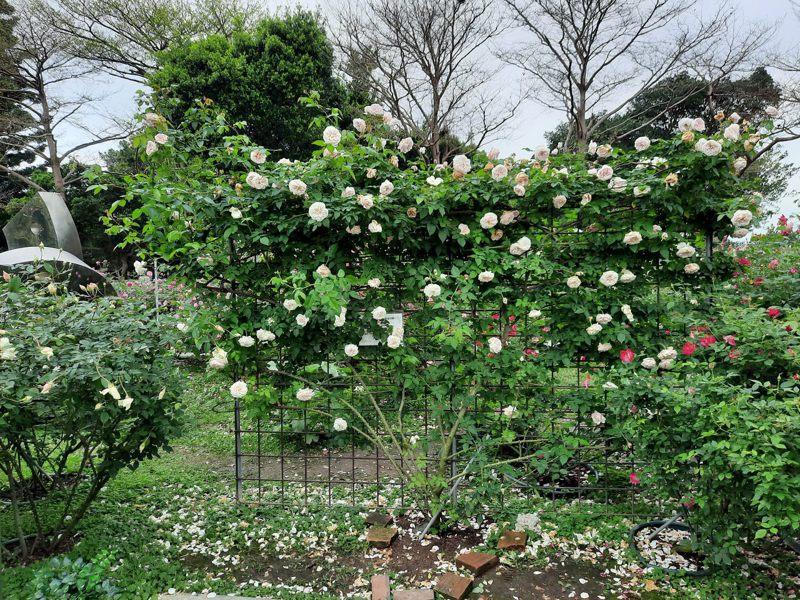 「莫梅森的紀念品」是多花、極具強香的四季開花茶玫瑰品種,在品種區和五彩玫瑰區都有它的身影。圖/北市公園處提供