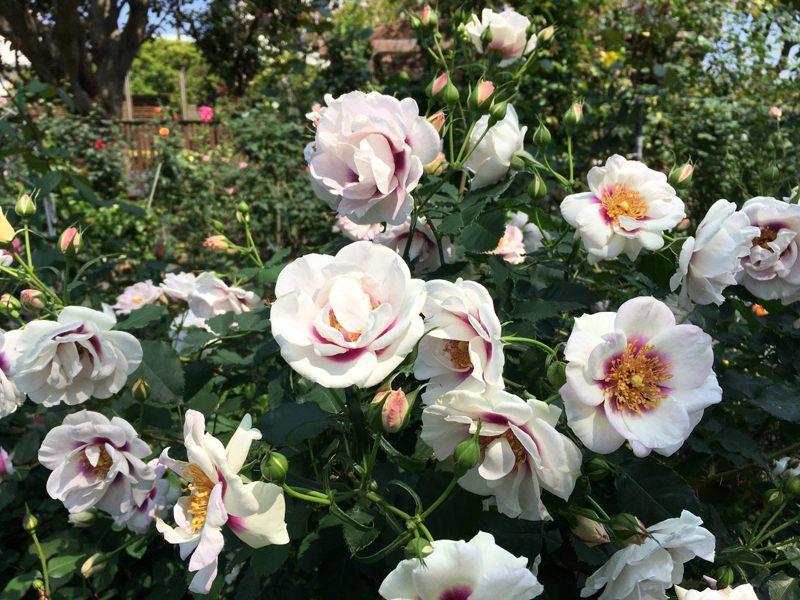 「萬眾矚目」這款帶有強香特殊玫瑰,擁有獨一無二紫色斑塊的花心。圖/北市公園處提供