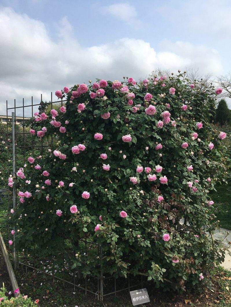 蔓玫「粉伊莎夫人」粉紅的花瓣與含苞待放的花朵在綠葉襯托下格外的嬌嫩。圖/北市公園處提供