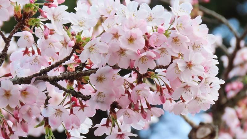 嘉義縣阿里山森林遊樂區櫻花季主角染井吉野櫻,滿開綻放,花況佳。圖/蘇家弘提供