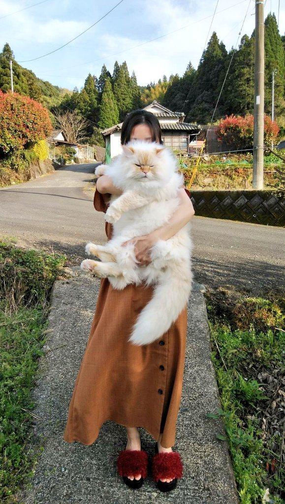 一位日本網友所飼養的襤褸貓雖然才兩歲,但體型足足有半個人大。圖擷取自twitter