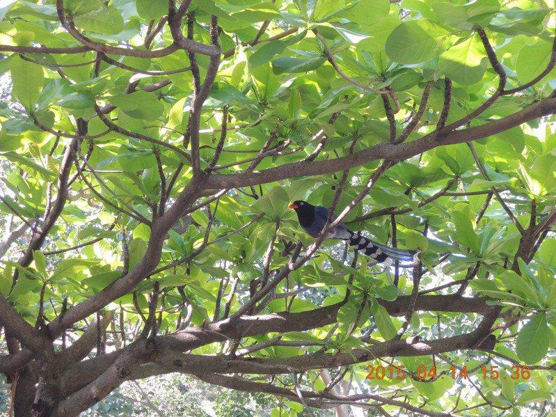 台灣藍鵲棲息情形。 圖/北市動保處提供
