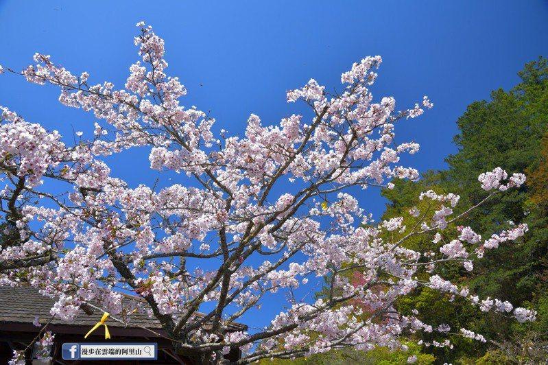 嘉義縣祝山觀景台的染井吉野櫻經過樹醫師修剪後綻放枝頭。圖/取自臉書「漫步在雲端的阿里山」