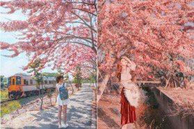 平地阿里山櫻花海、台南「粉紅雨」步道!全台4處花旗木夯點免費拍
