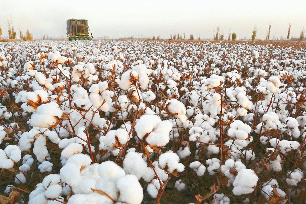 國際品牌抵制新疆棉,陷兩難。報系資料照