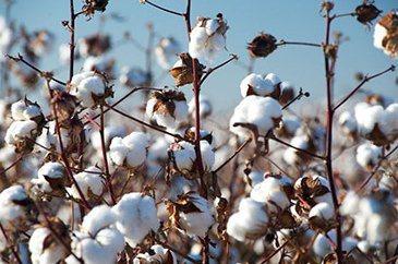 多家世界品牌發起拒用新疆棉花,引起大陸方面反彈。(觀察者網)