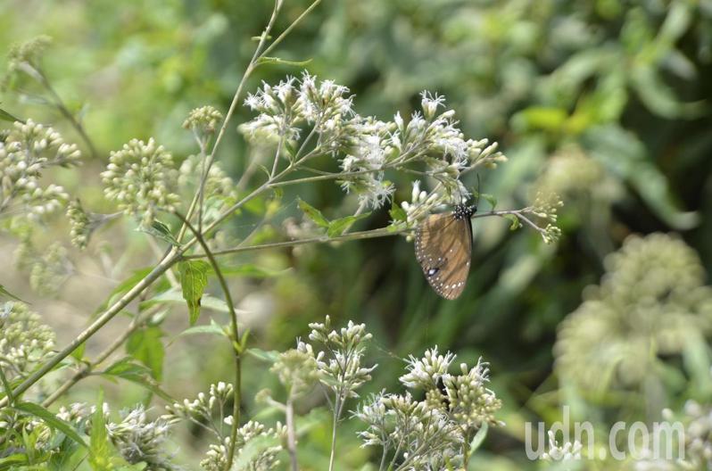 林內鄉公所在涵洞旁種植蜜源植物,在此民眾可觀賞到的蝶種,包括數量最多的小紫斑蝶,此外還有圓翅紫斑蝶、斯氏紫斑蝶及端紫斑蝶等倩影。記者陳苡葳/攝影