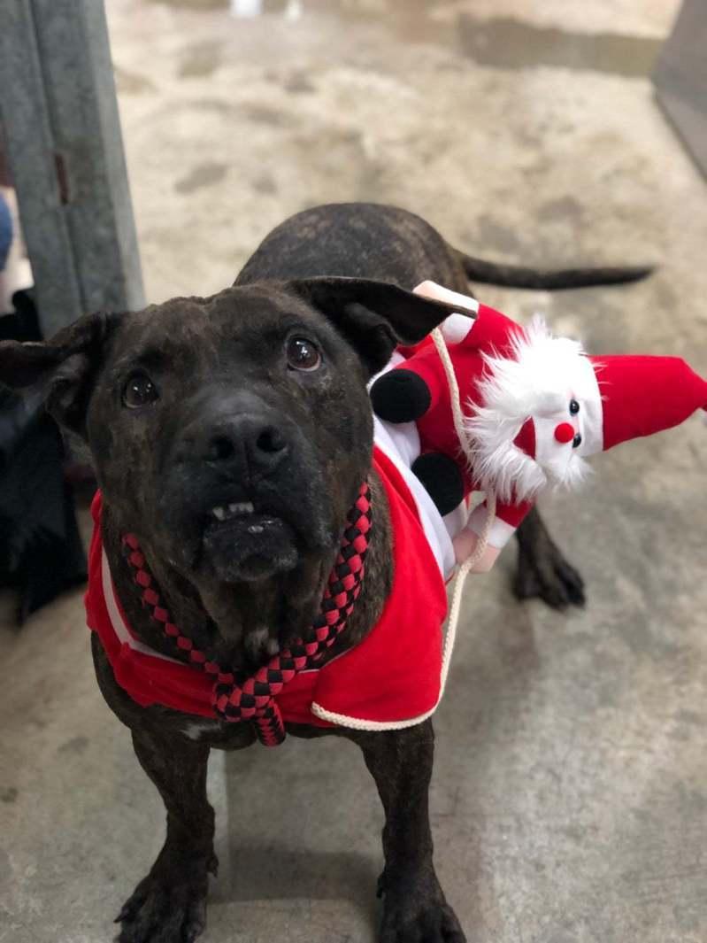 新北市動保處開放6隻比特犬供民眾認養,希望為犬隻尋找一個溫暖的家。圖/新北市動保處提供