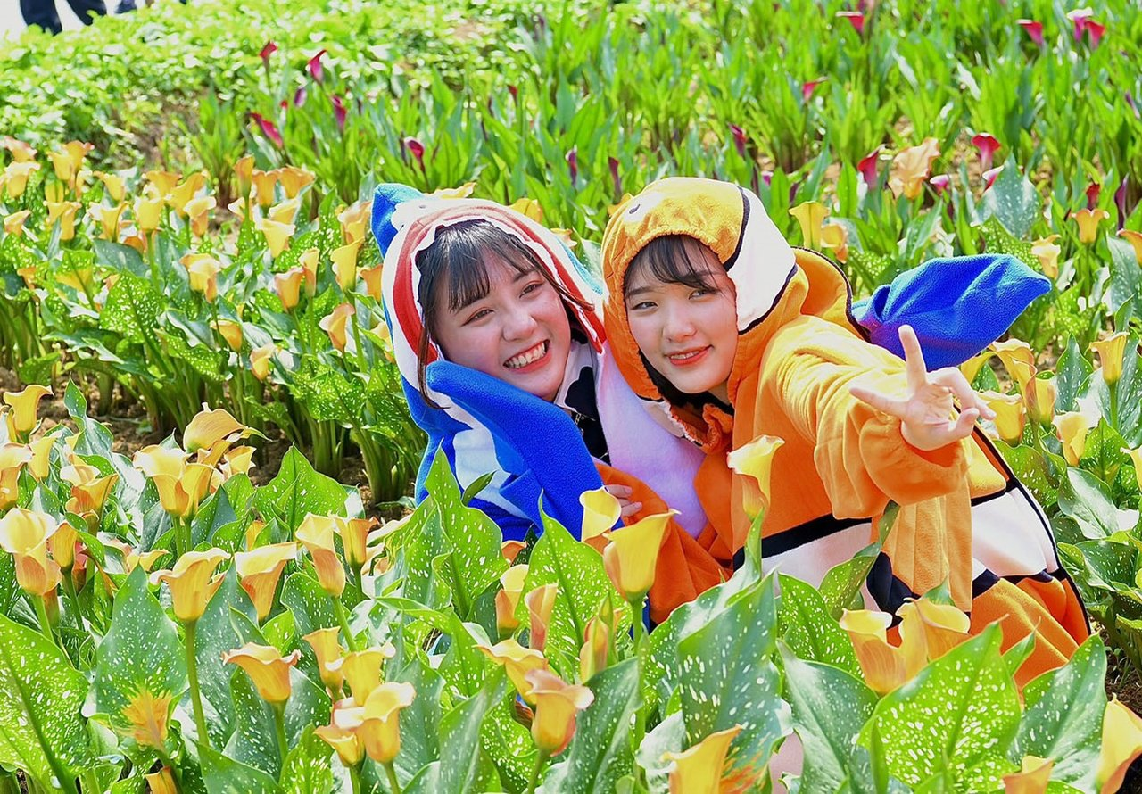 桃園彩色海芋五彩繽紛,吸引年輕男女前往打卡、拍美照。 圖/市府農業局提供