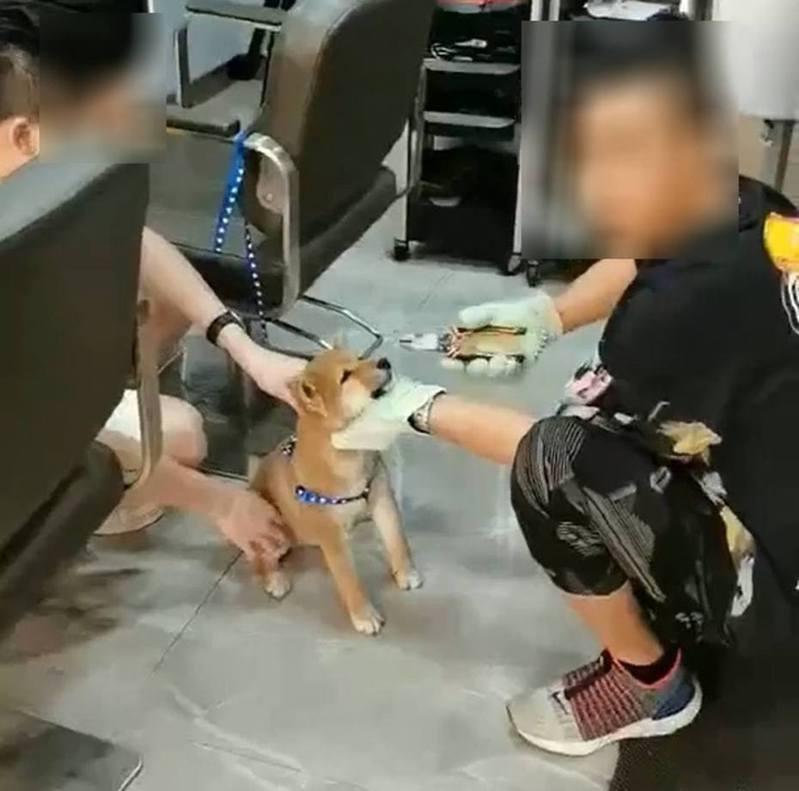一隻年幼的柴犬被綁在椅子旁,然後一名男子手持鐵鉗,聲稱要將尖牙拔掉。 圖截自廣視新聞