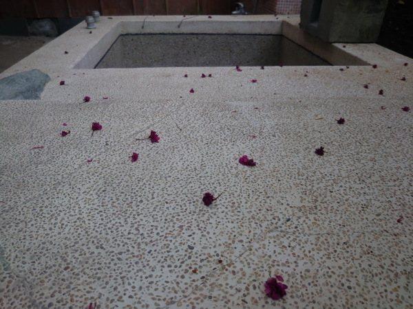 櫻花花瓣落滿地