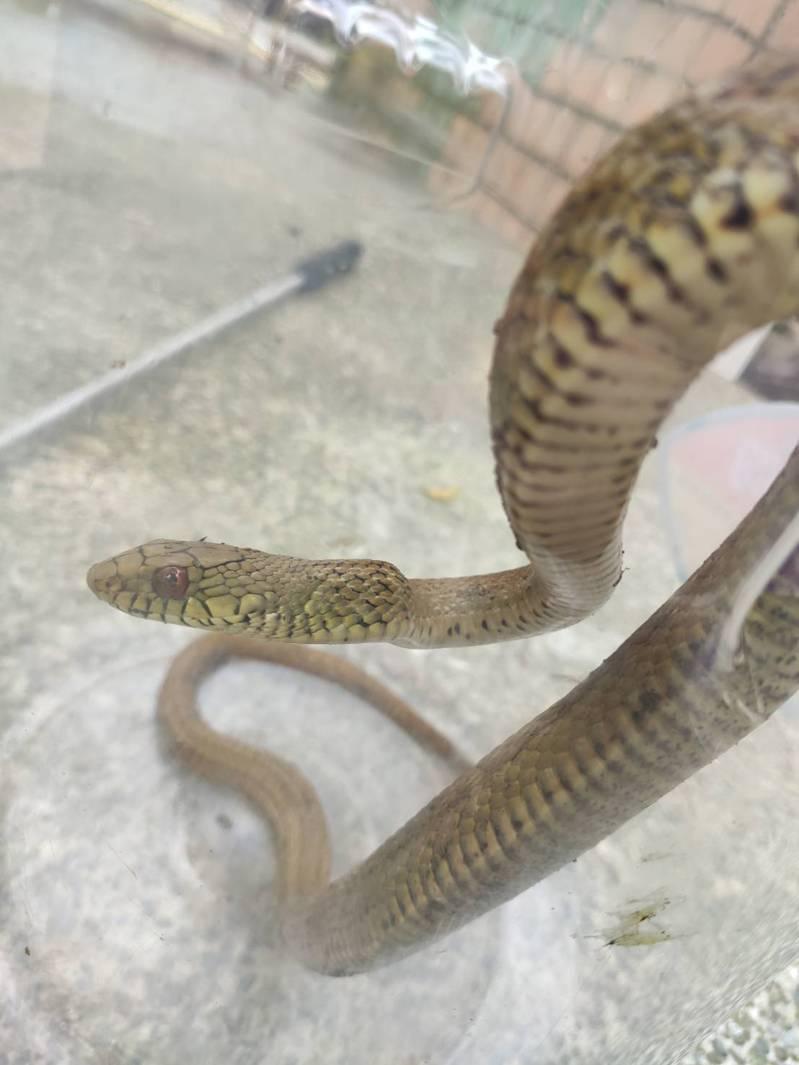 今天上午10點左右,北市仁德公園再度有一條「臭青母」出沒,台北市動保處、公園處上午派員抓蛇,今天終於成功將蛇抓起。圖/里長羅崇華提供