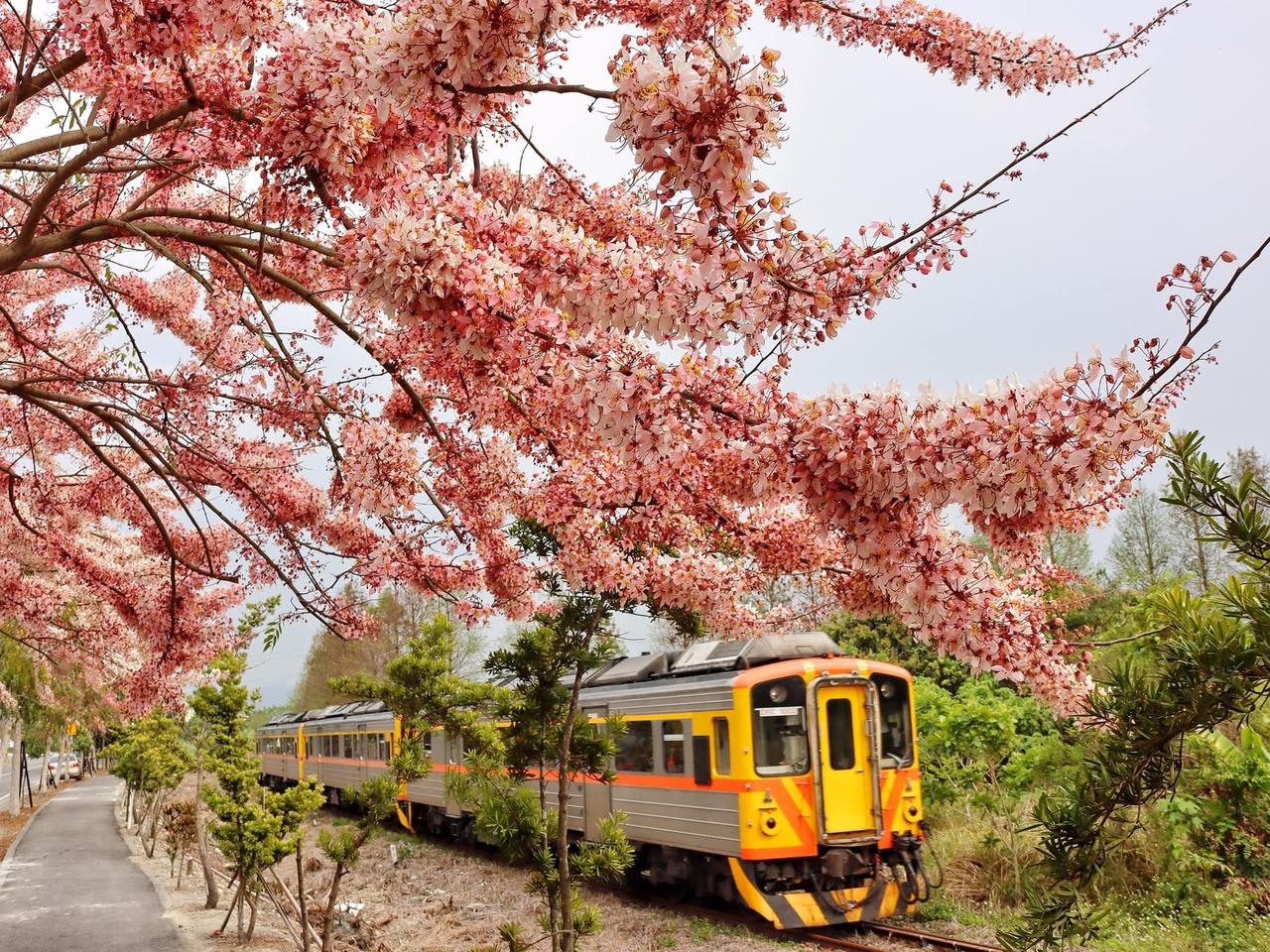 花旗木別名「泰國櫻花」、「平地櫻花」,尤其集集線的石虎小火車駛過時,可媲美阿里山...