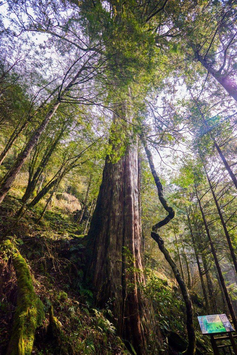 拖著好長好長的樹藤是「孔子」神木最獨一無二的樣貌。
