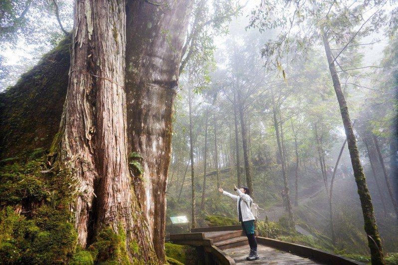 扁柏就是大家口中的檜木,壯碩巨大讓人震驚。