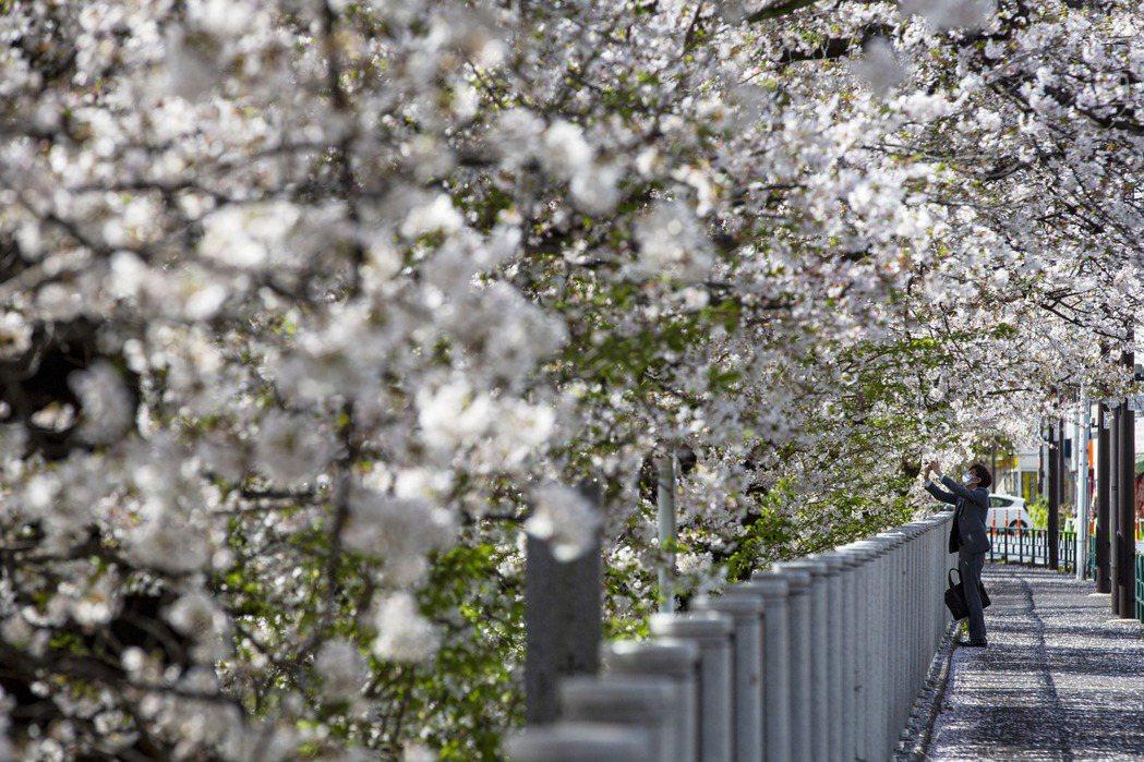 日本京都進到三月後,由於氣候異常「暖活」,導致櫻花季提早於26日達到頂峰,為12...