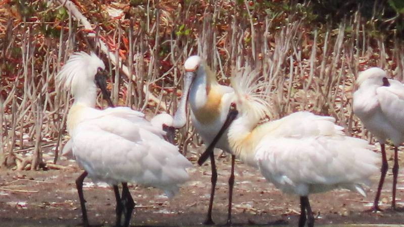 冬候鳥樂園嘉義縣東石鄉鰲鼓濕地森林園區,換繁殖羽的珍稀保育鳥黑面琵鷺,很像「金毛獅王」,頭頂豎立鳥羽金黃色,有如龐客頭髮形。圖/蘇家弘提供