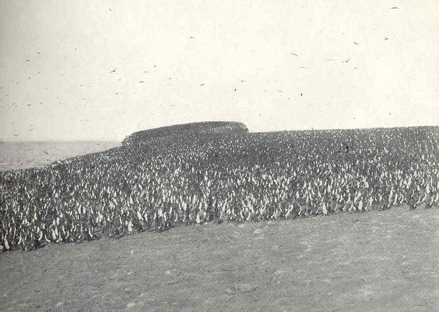 1910年,智利的欽恰島(Chincha Islands)上擠滿了鸕鶿(Corm...