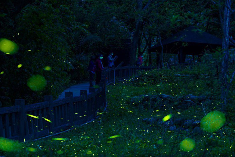 台中大坑生態園區開始出現點點螢光。圖/中市府觀旅局提供