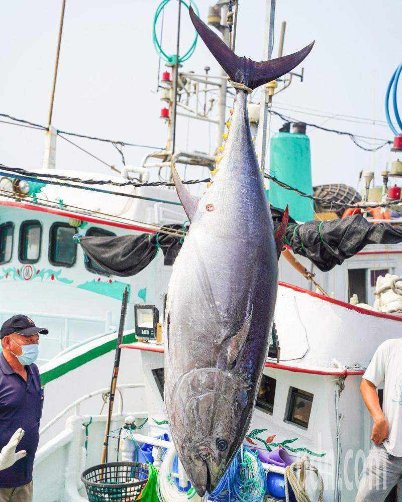 屏東琉球籍漁船滿吉財號捕獲「第一鮪」,4月4日上午將在東港魚市場舉行拍賣會。記者潘欣中/攝影