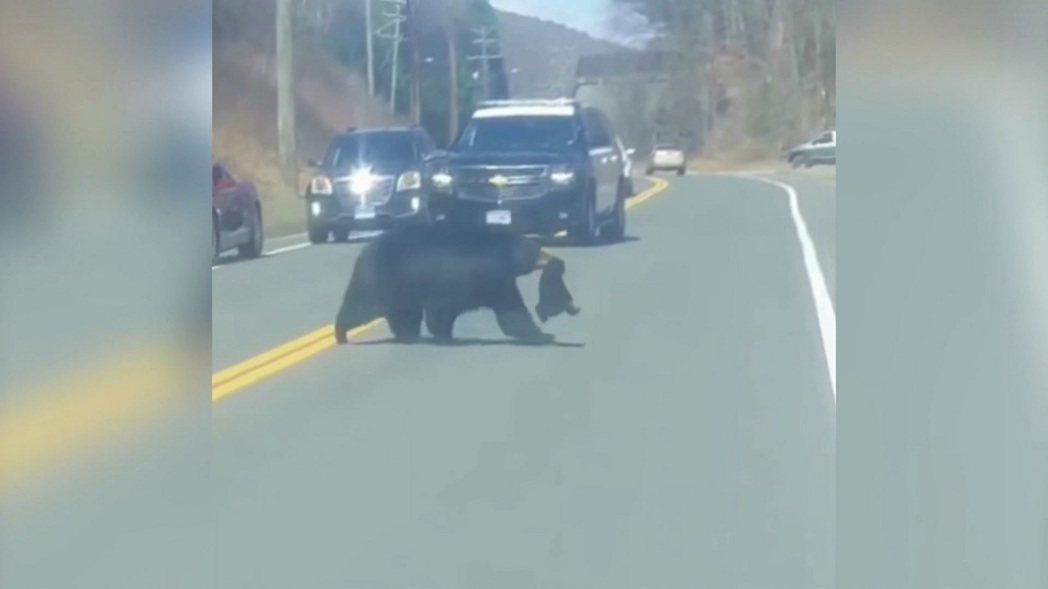美國康乃狄克州溫徹斯特警局日前在臉書粉絲專頁上傳目擊者拍攝影片,只見一頭母熊帶4...