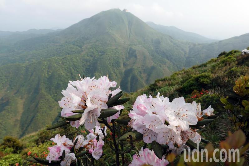 13黃金稜線「劍龍稜-鋸齒稜」,有些山坡也和高山上一樣,高山杜鵑怒放花姿招展。記者曾吉松/攝影