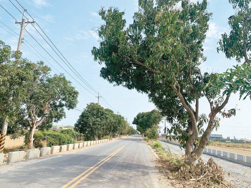 台南市府斥資5億多元進行南175線道路拓寬工程,兩旁有500棵芒果行道樹大都保留。記者吳淑玲/攝影