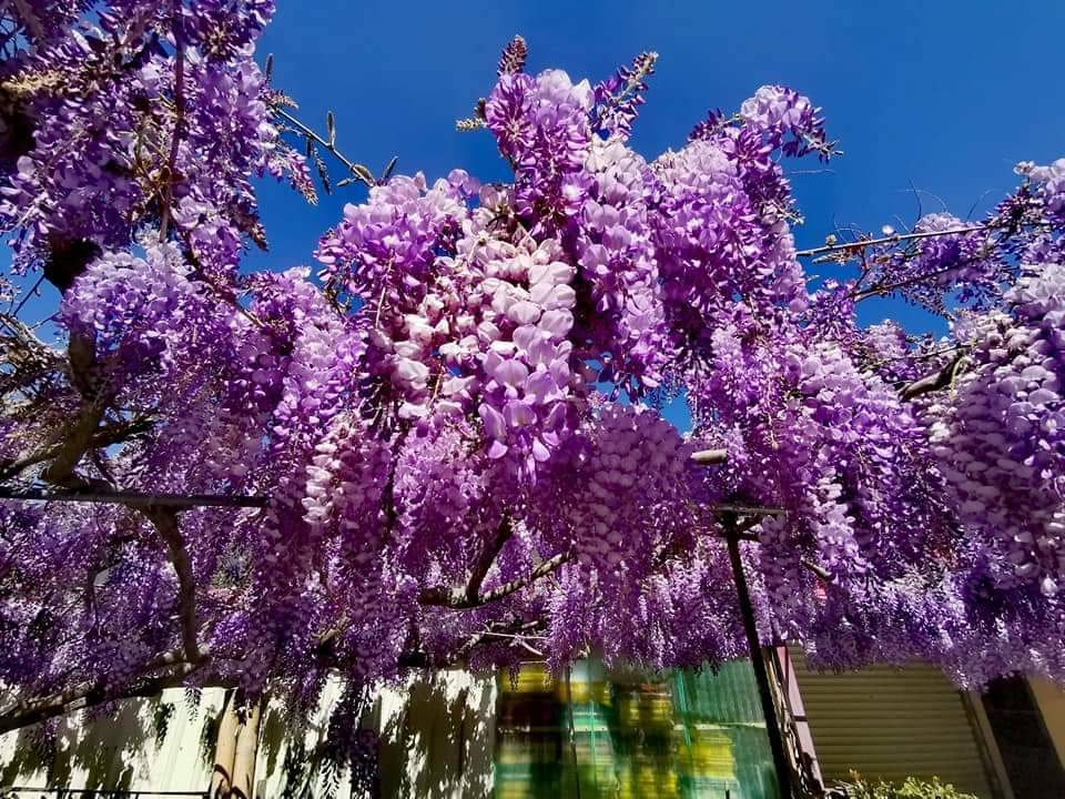台中市梨山地區紫藤花盛開,成串的紫色花瀑相當美麗。圖/參山處提供