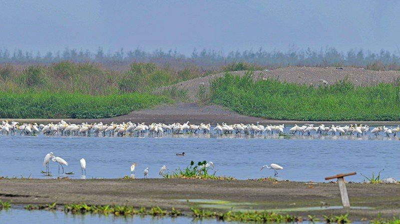 雲林縣麥仔簝文化協會及野鳥學會在濁水溪出海口沙洲觀察到300多隻黑面琵鷺,且其他候鳥及本土鳥類數量有增多趨勢。圖/雲林縣政府提供