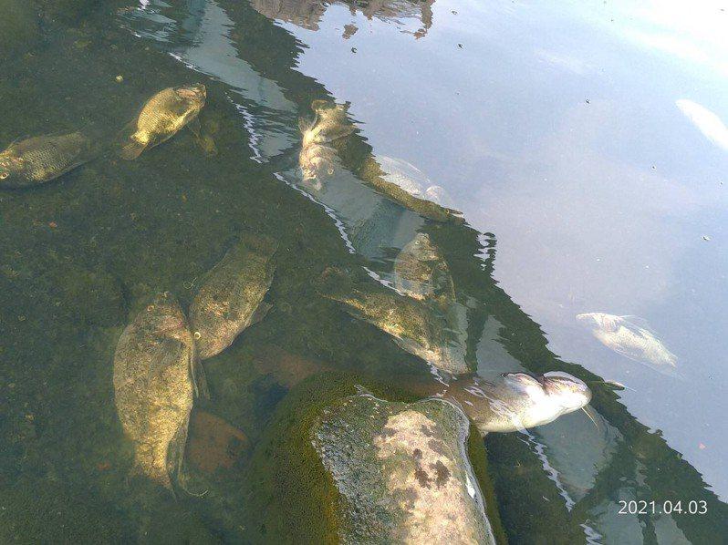 新北有民眾發現三峽河床上滿滿的魚屍體,環保局初步清查河水無急毒性反應。圖/新北環保局題供