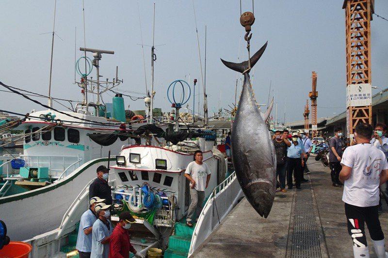 東港漁港為台灣最大的黑鮪魚卸魚區,當地近百艘鮪延繩釣漁船已蓄勢待發,釣捕有「黑金」之稱黑鮪魚。記者潘欣中/攝影