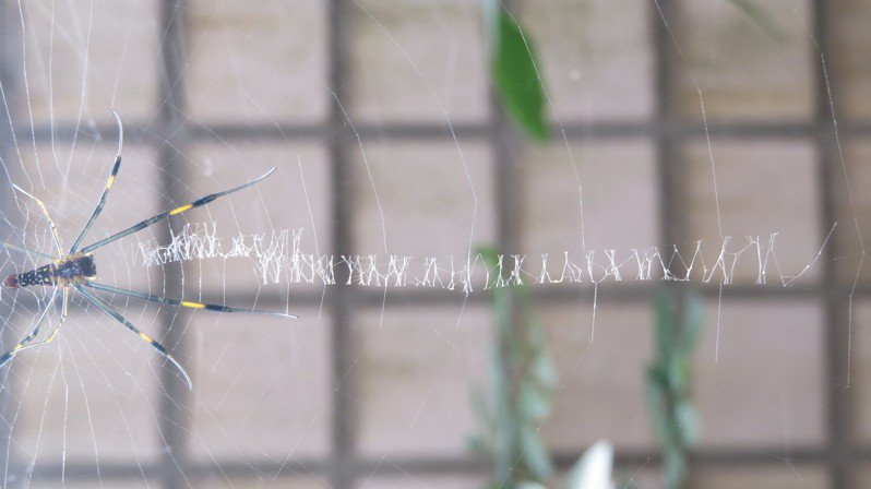 這隻蜘蛛會寫英文字?引發民眾好奇,通報苗栗縣政府農業處。記者范榮達/攝影