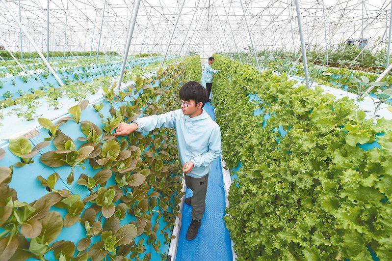合肥市蜀山區南崗鎮去年開始用霧耕技術助力高效農業轉型,工作人員在農業科技示範園查看蔬菜長勢。(新華社)