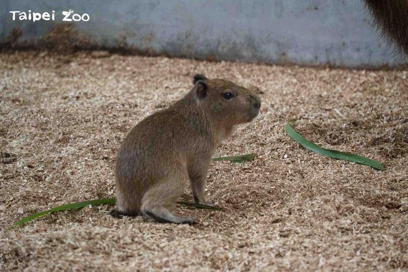 體型大小和毛色乍看之下很像成年的天竺鼠,讓人不禁聯想到最近很夯的天竺鼠動畫影片,保育員於是將牠命名為「車車」。圖/北市動物園提供